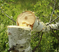 Fresh-Cut-Birch-Tree